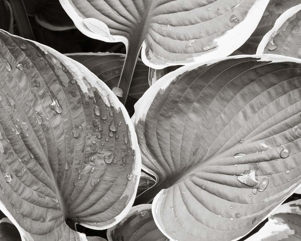 Water Leaves
