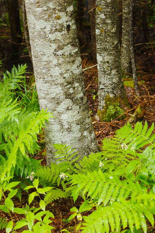 Ferns in Rain, Nova Scotia