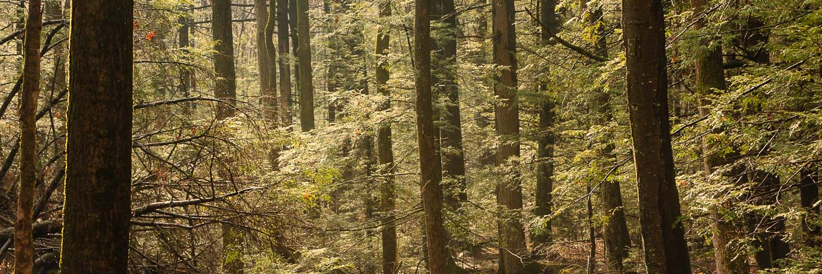 Mohonk Trees