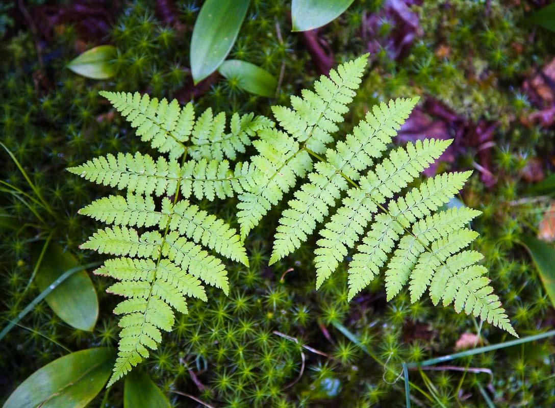 Twin Ferns