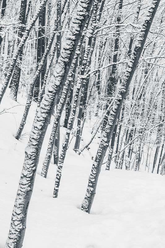 Snow Trees, NY