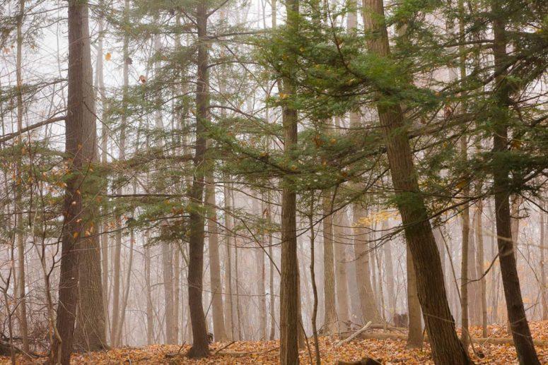 Trees, Fog, Wind, Hudson Valley